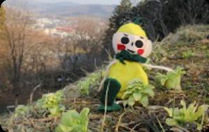 太鼓山でフキノトウ発見