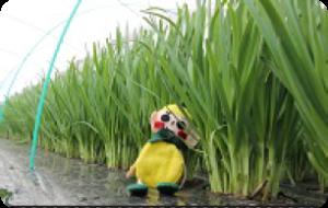 知内町でニラ収穫